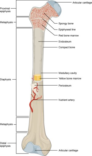63 Bone Structure – Anatomy and Physiology