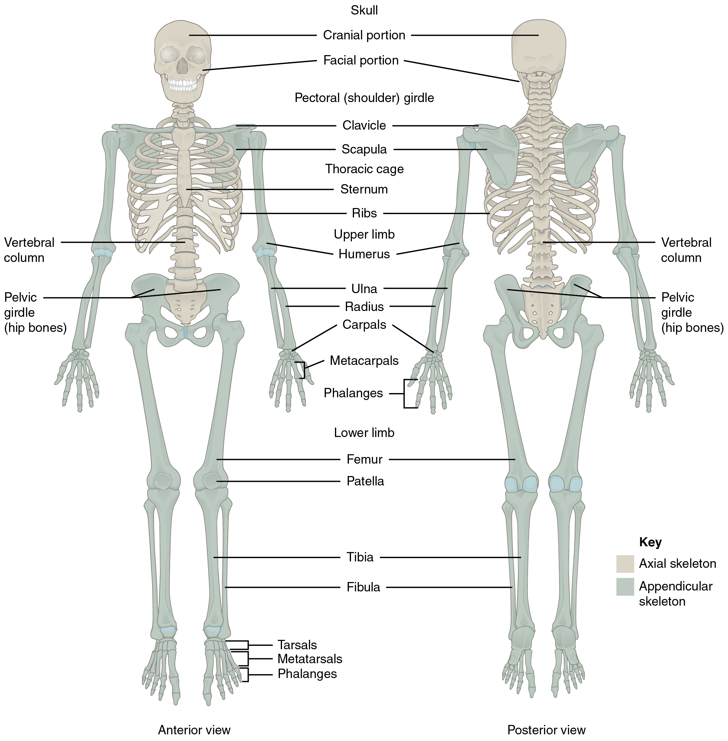 Humerus Bone Labeling Worksheets