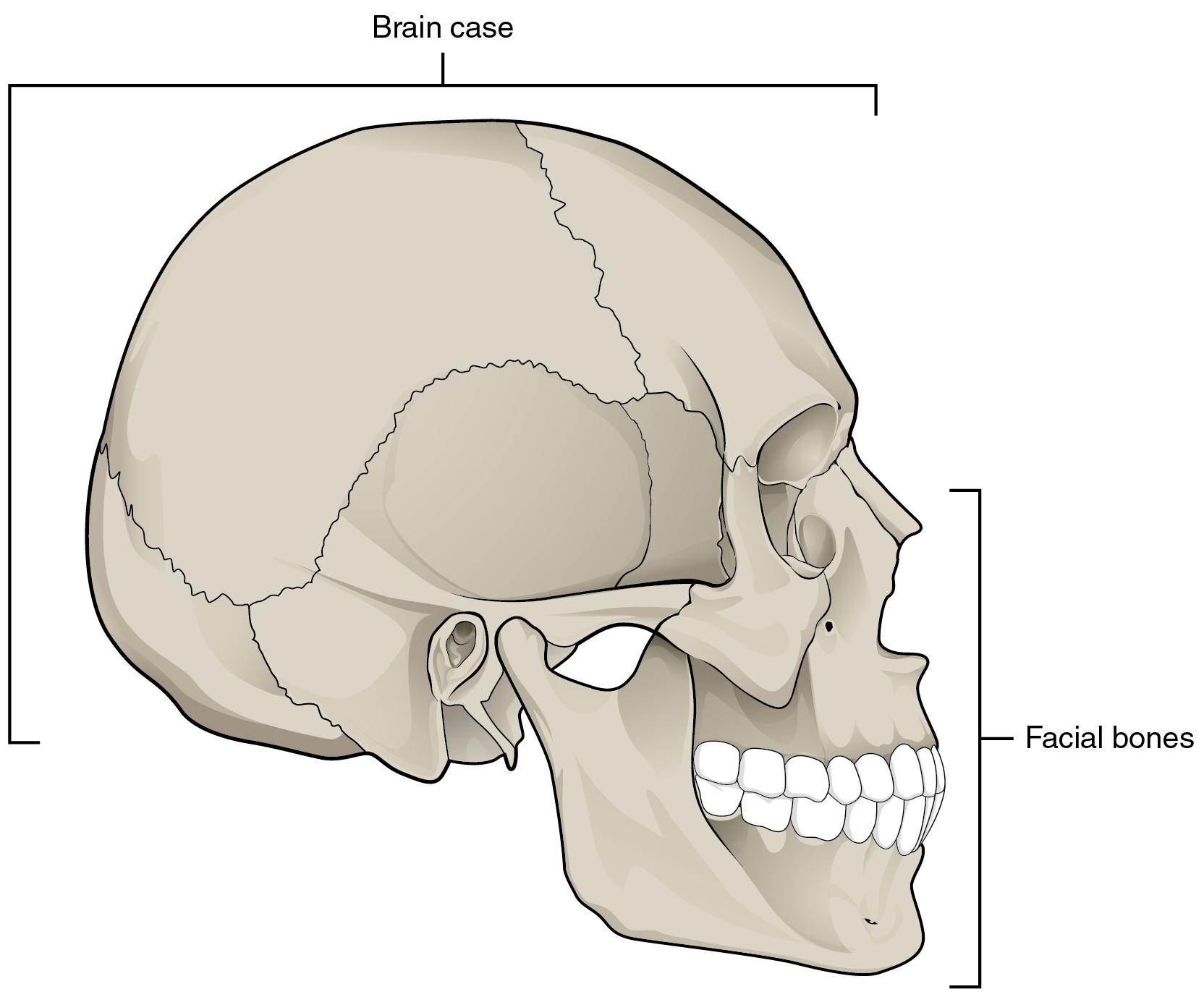 Blank Skull Diagram