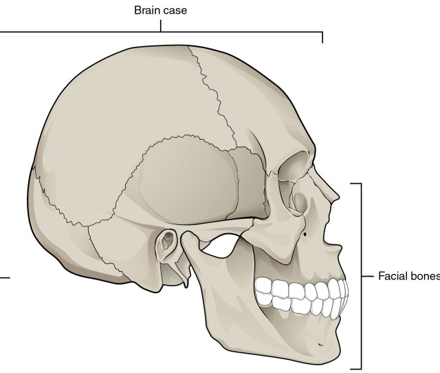 The Skull Anatomy And Physiology Skull Anatomy Human In This Image The Lateral