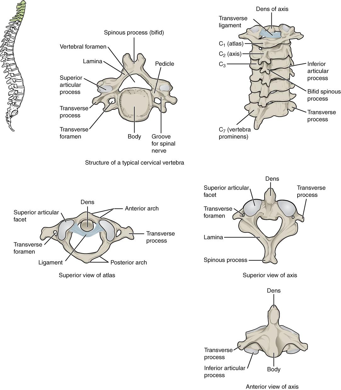 7 3 The Vertebral Column Anatomy And Physiology
