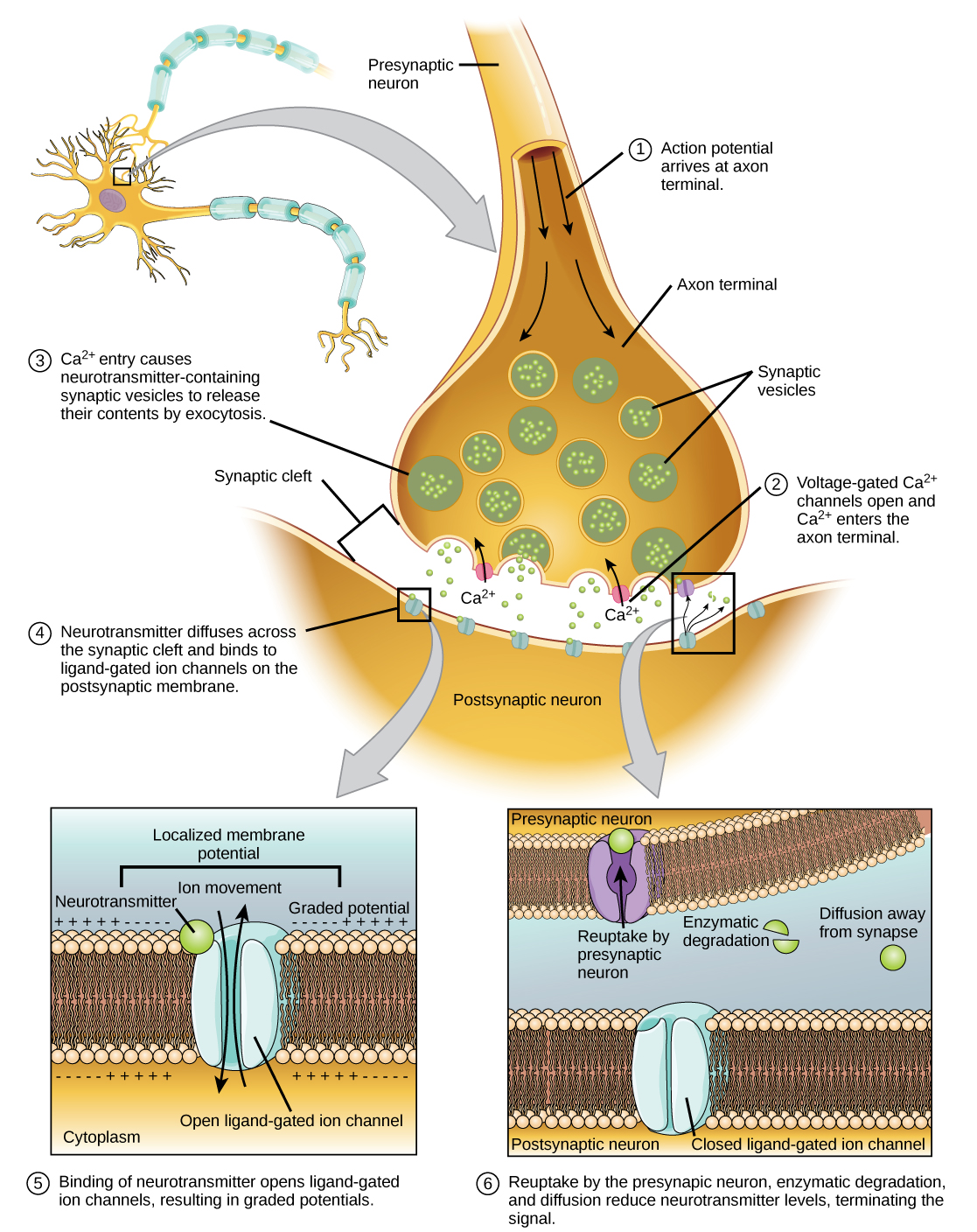 16 2 How Neurons Communicate Concepts Of Biology 1st