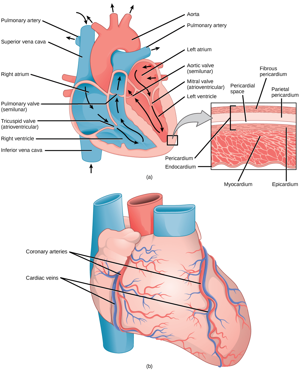 21 3 Mammalian Heart And Blood Vessels Concepts Of
