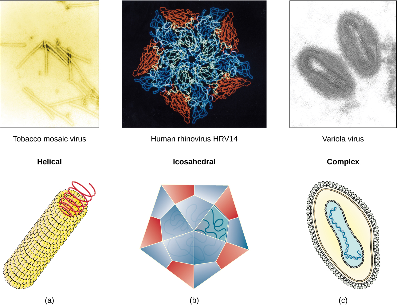 Viral Evolution Morphology And Classification Biology 2e