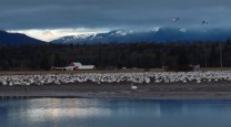Swans and Snowgeese in Bow