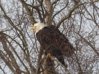 eagle-in-tree-this-one-too