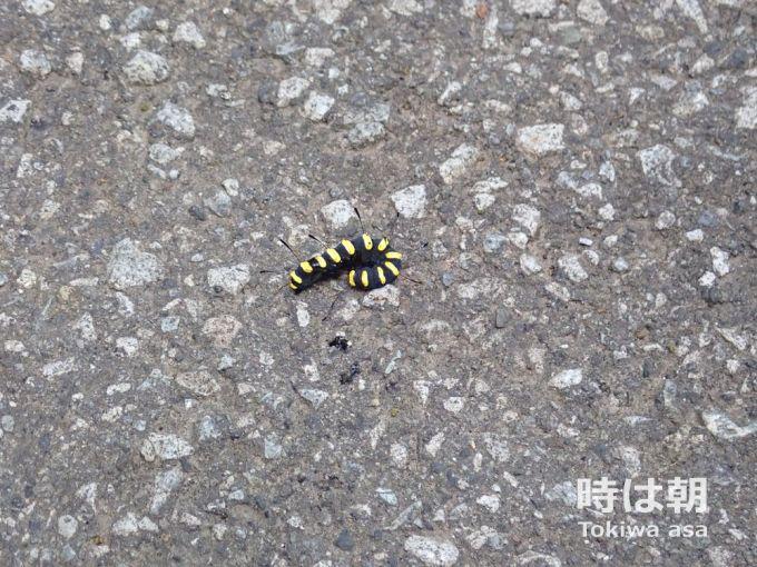 ハンノケンモン 幼虫
