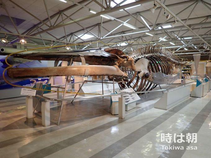 クジラの骨 東海大学海洋科学博物館