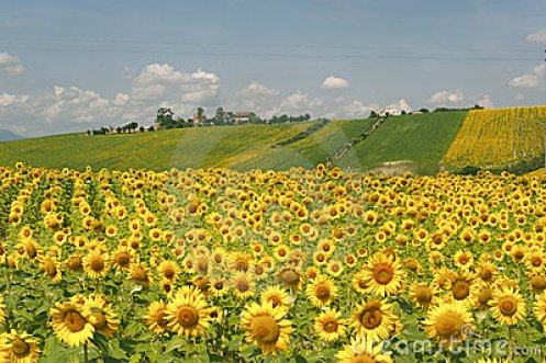 marches-italy-landscape-sunflowers-21148152.jpg