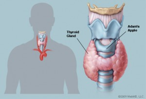 thyroidgland_