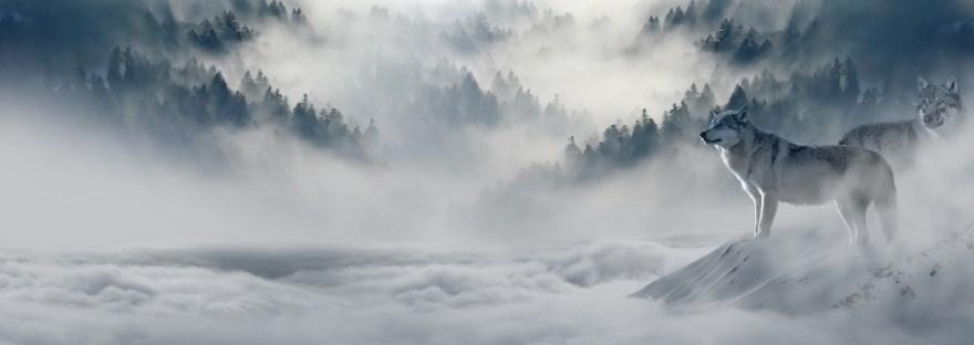 Deux loups au milieu d'un paysage brumeux et enneigé.