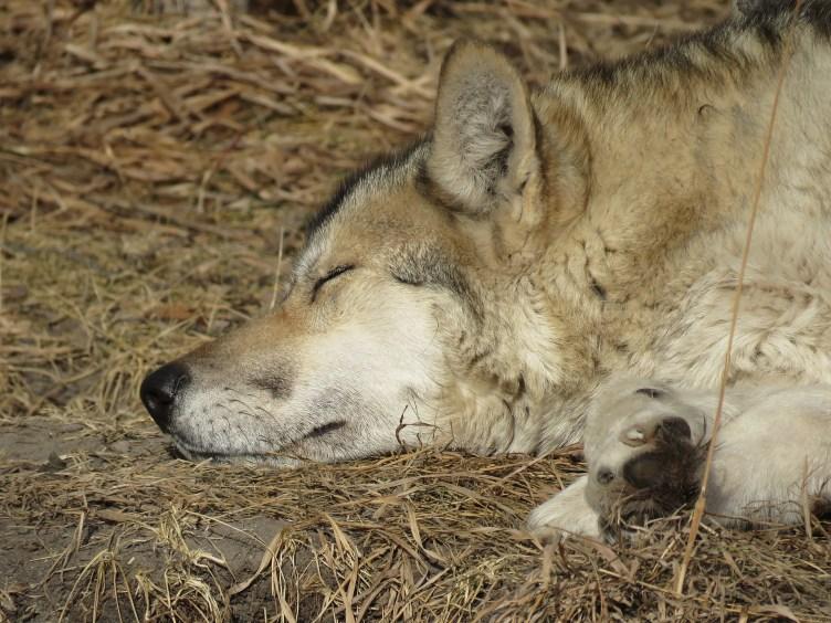 Loup endormi dans les herbes sèches.