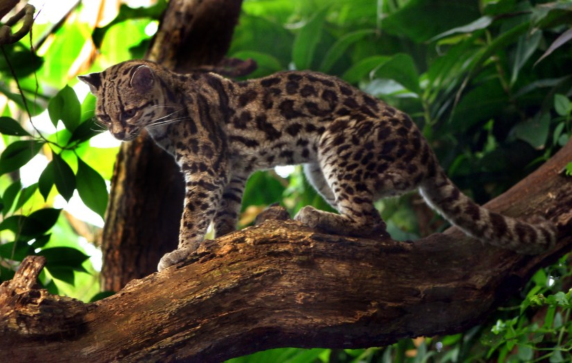 Photo d'un margay (leopardus weidii) debout sur une branche.