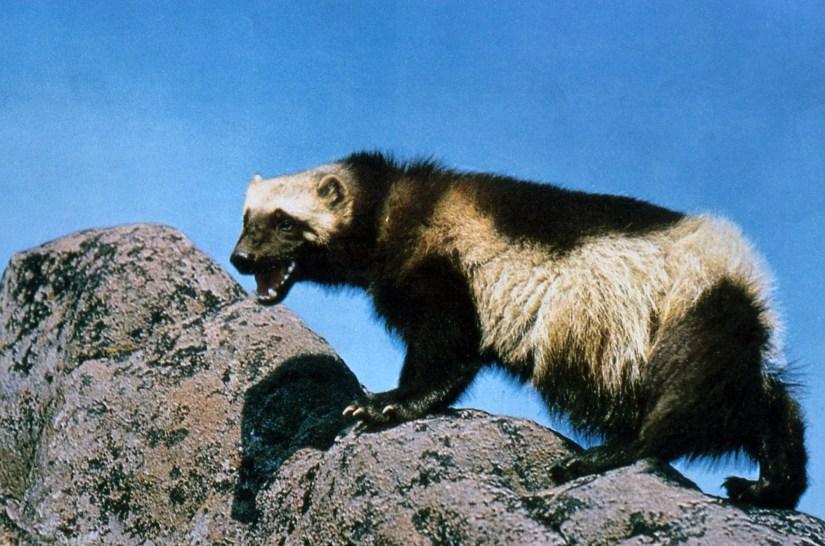 Vieille photo d'un carcajou sur un rocher, qui montre les dents.  La photo est ancienne et assez granuleuse.
