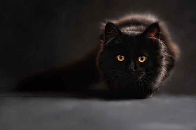 Photo d'un chat noir à poils longs, yeux oranges, ramassé face à l'objectif avec sa queue qui se perds sur la gauche dans le flou du fond.