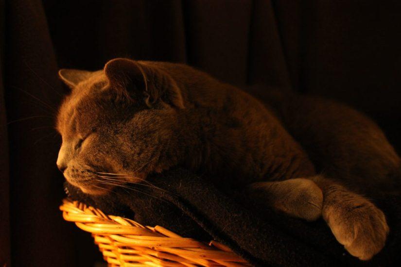 Photo d'un chat chartreux allongé dans son panier, environné de pénombre et la tête éclairée d'une source de lumière chaude.