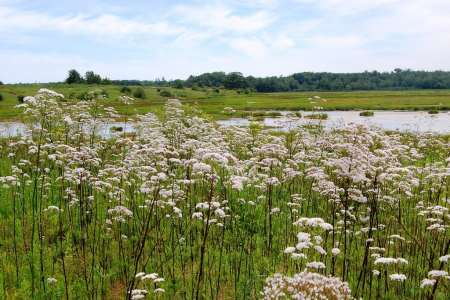 How To Use Valerian Root For Opiate Withdrawal