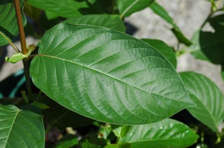 Kratom For Opiate Addiction – Miracle Plant? or Dangerous Drug?