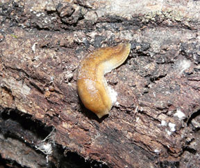 Arion sp. are among the most commonly encountered slugs at QUBS but are not native; all are introduced from Europe. They can be found on almost any substrate close to the ground or under moist logs. Photo: M.A. Conboy.