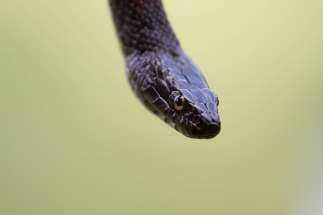 Northern Water Snake 2