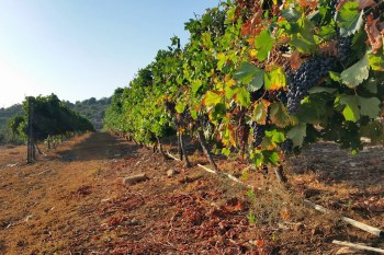 """Titelfoto bij artikel Ernst Lissauer op OpinieZ.com """"Bezopen overheidshetze tegen Israëlische wijn"""""""
