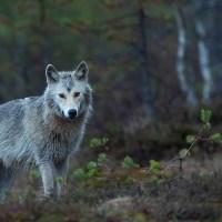 Waarom moeten we eigenlijk blij zijn met de wolf?