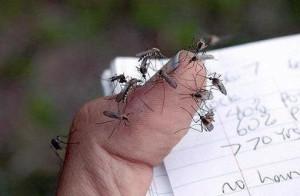 Muri-oca-300x196 Fiocruz estuda se zika vírus pode ser transmitido pela muriçoca