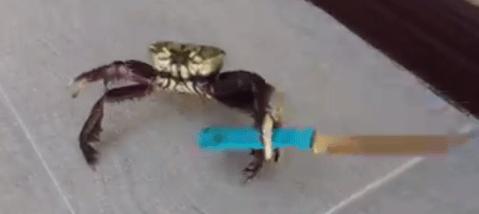 Sem-título-1 Bom Humor: Depois do macaco de Teixeira- PB, caranguejo é flagrado com uma faca de mesa