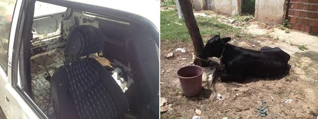 boi_P84PcUR No RN, homem furta boi e coloca o animal dentro de um Fiat Uno