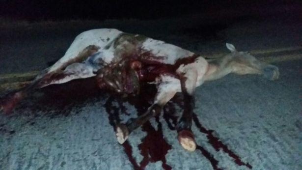 42e604da-f5aa-445c-87b9-eec0ba02573b Exclusivo: Motociclista Fica gravemente ferido após colidir em Cavalo na BR-110 em Monteiro
