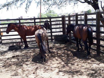 Animais-centro Secretaria de Agricultura intensifica apreensão de animais em Monteiro
