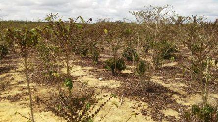 cafe-com-seca-no-es Estiagem faz Prefeitura do Cariri decretar situação de emergência