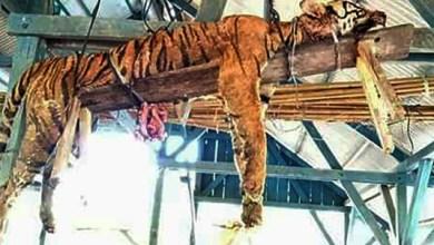 Tigre é morto e amarrado em tábua de madeira 7