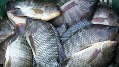 Prefeitura distribui peixes e chocolates com população de Monteiro nesta quarta-feira 6