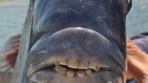 Peixe com 'dentes humanos' é capturado nos EUA 4
