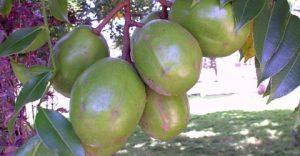 Cajarana-1-300x156 Pesquisa com plantas na Paraíba ganha destaque em revista internacional