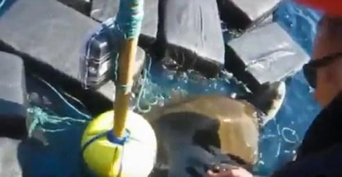 tartaruga- Tartaruga é encontrada com pacotes de cocaína