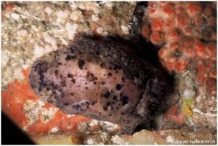 Archidoris pseudoargus