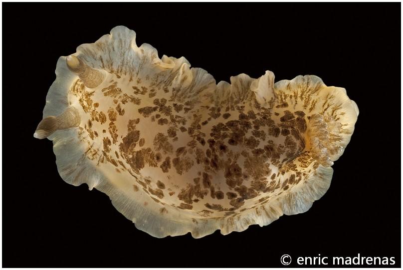 Dendrodoris grandiflora by Enric Madrenas
