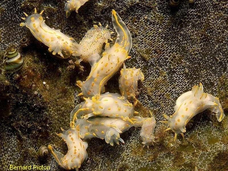 Polycera quadrilineata - Photograph ©Bernard Picton