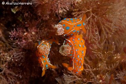 Polycera elegans @ Islas Canarias by Aketza Herrero