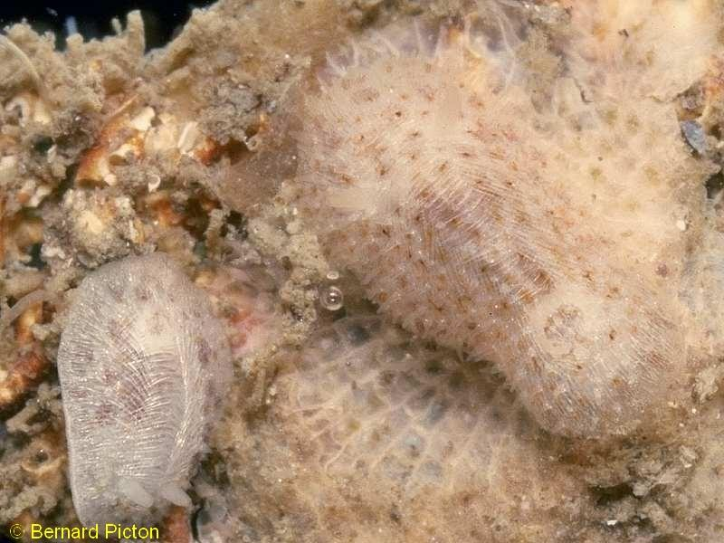 Knoutsodonta depressa - Photograph ©Bernard Picton