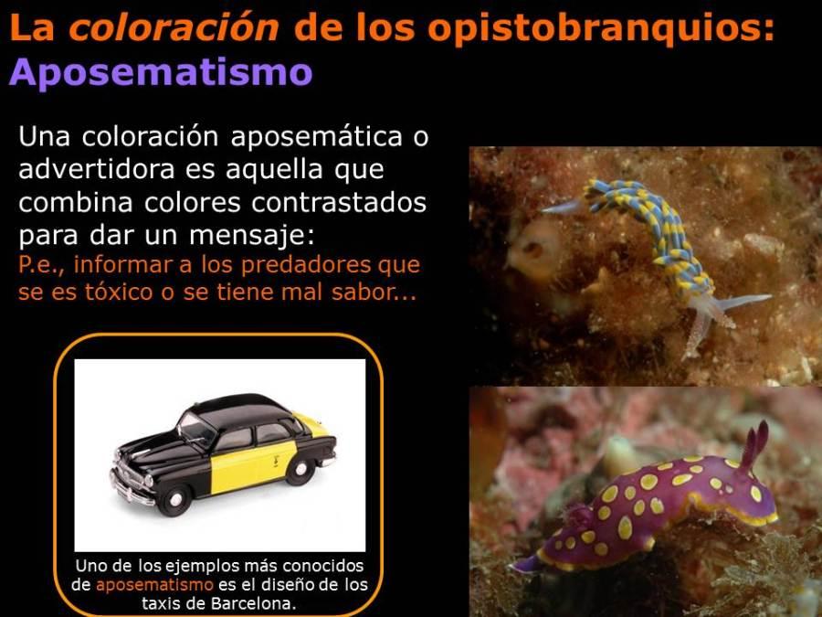 La coloración de los opistobranquios: el aposematismo