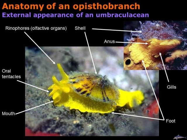 Anatomy of an opisthobranch, external appearance of an umbraculacean