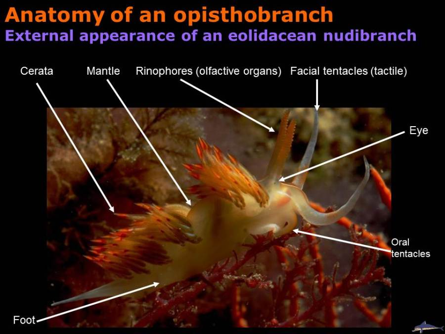 Anatomy of an opisthobranch, external appearance of an aeolidacean nudibranch
