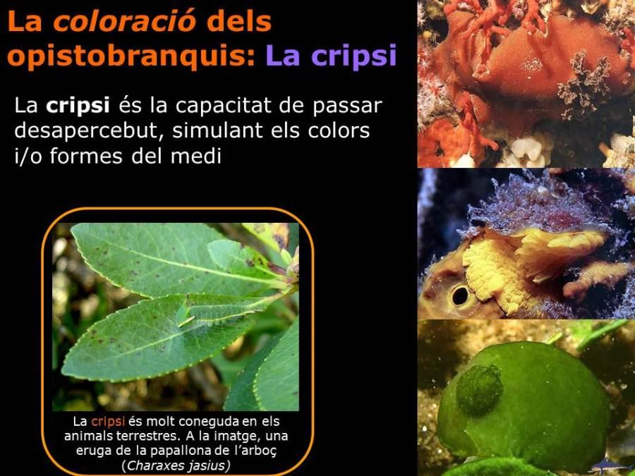 La coloració dels opistobranquis: la cripsi