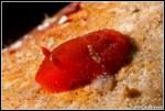 Aldisa banyulensis