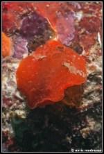 aldisa-banyulensis-10