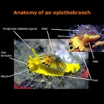 Anatomy of an Opisthobranch