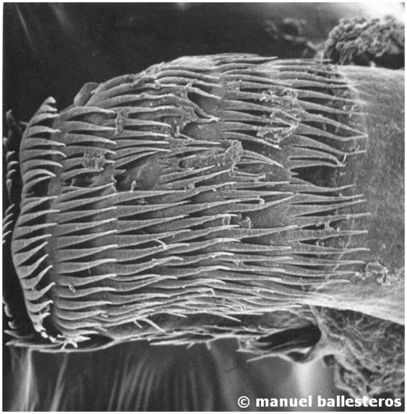 Radula of Berghia coerulescens